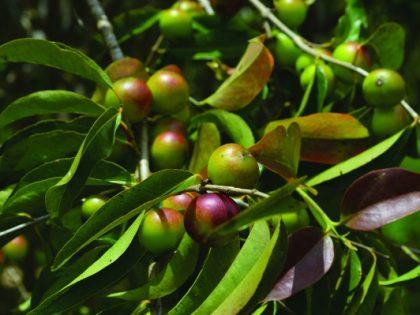 Jagody camu (camu camu) – amazońskie źródło witaminy C